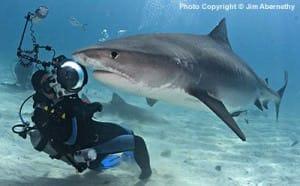 tiger shark and diver